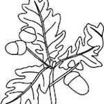 Acorns And Oak Leaves 002